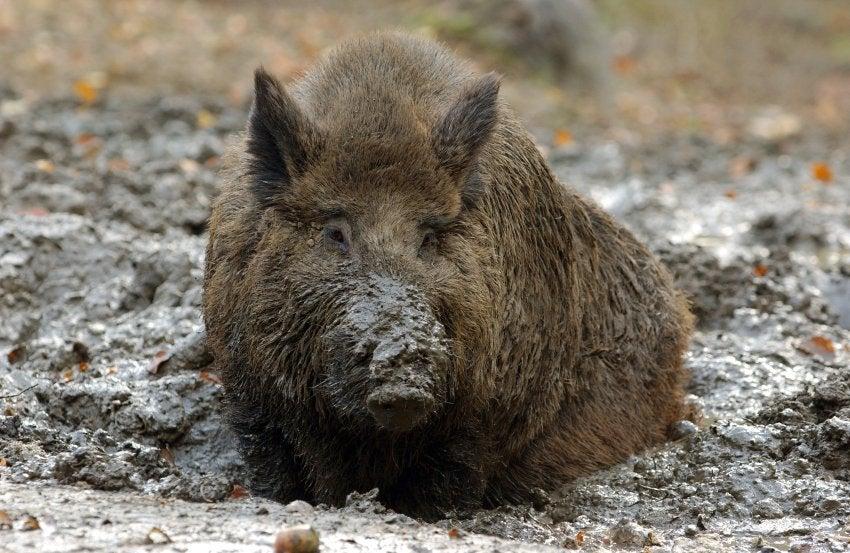 Radioactive Hogs Storm Germany
