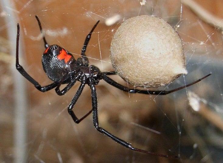 httpswww.outdoorlife.comsitesoutdoorlife.comfilesimport2014importImage2012photo1001335546Black_Widow_Spider.jpg