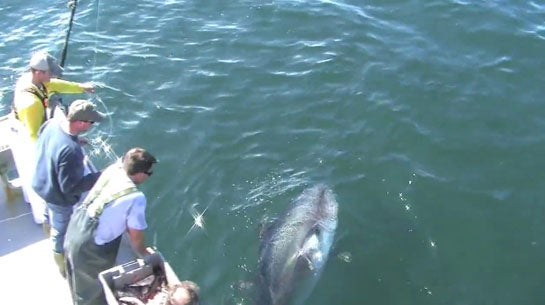Video: Hand Feeding 950-Pound Bluefin Tuna