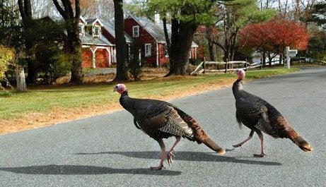 Jersey Turkeys Doing Damage