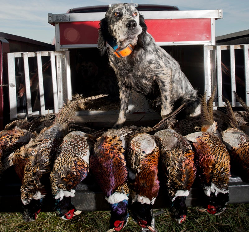 Three Quick-Hit Places to Fill Your Pheasant Limit