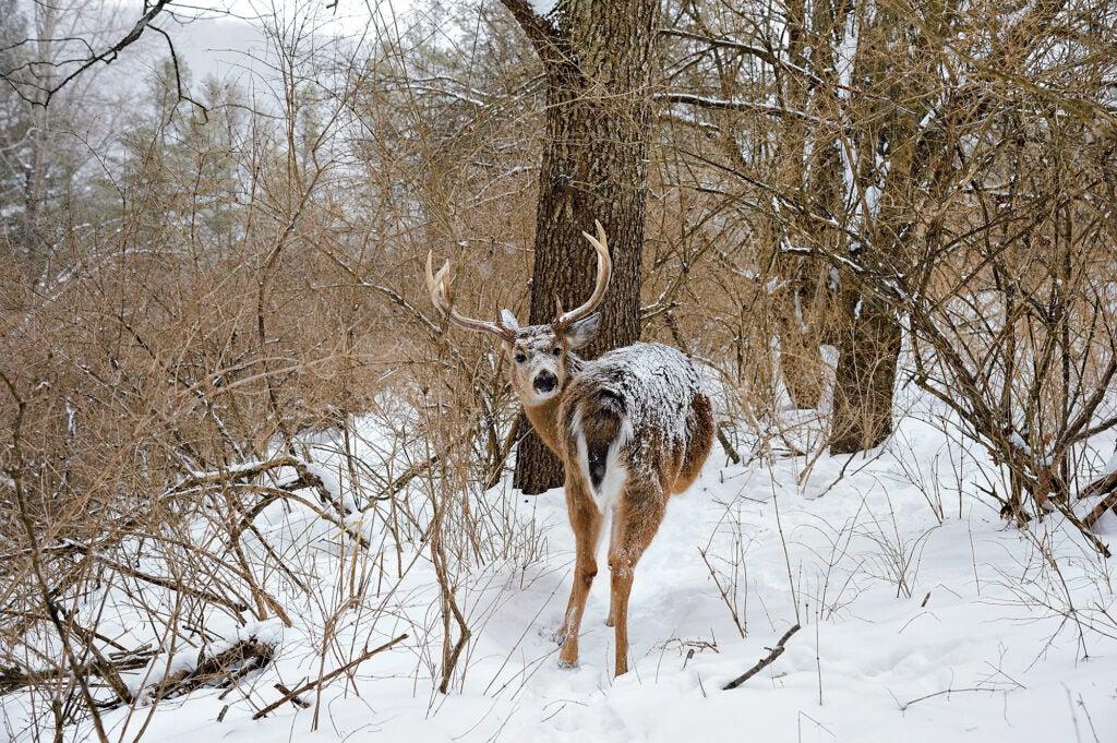 tracking deer