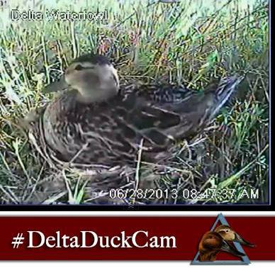 Delta Duck Cam: Reality TV for the Waterfowl Hunter