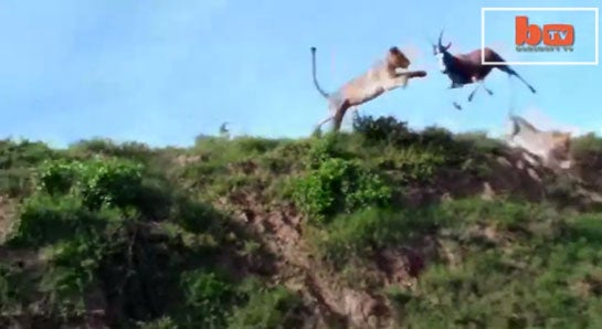 Video: The Greatest Lion Takedown of All Time?