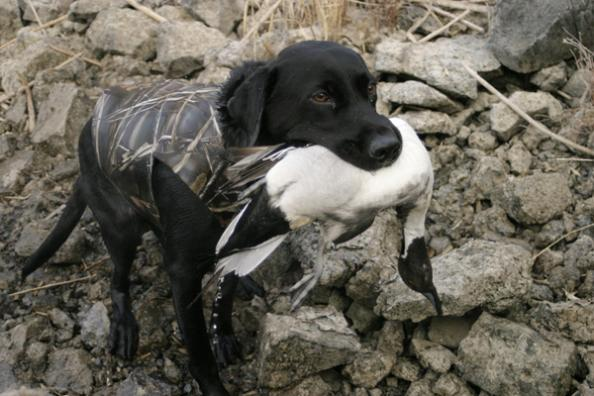 Gun Dogs: What Problems Does Your Dog Have in the Duck Blind?