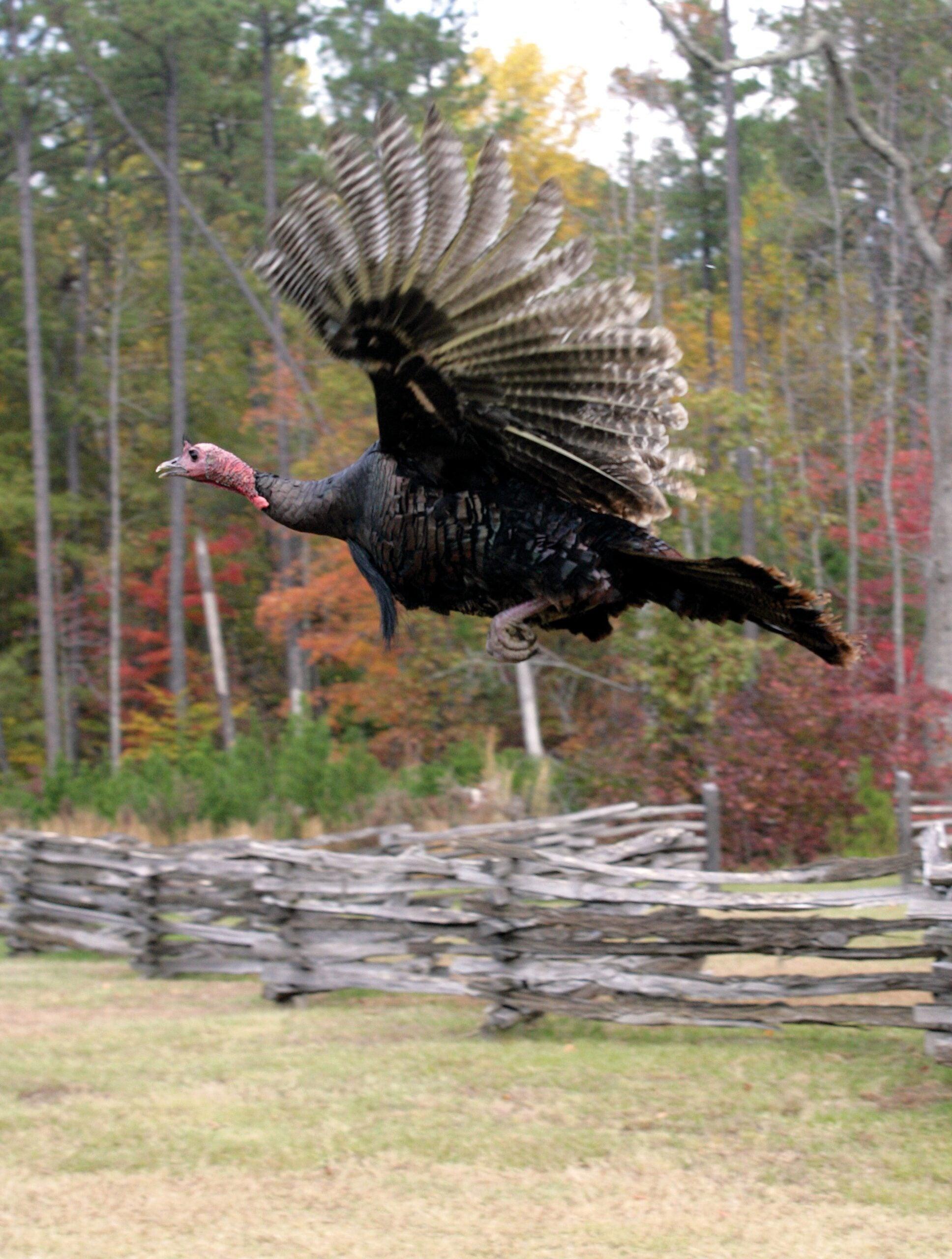 Fall Turkey Hunting Quiz