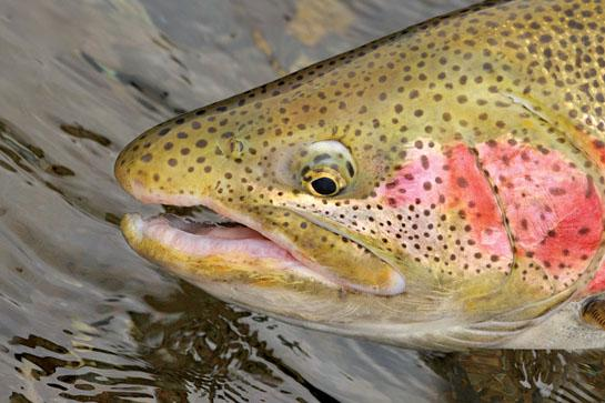 Fly Fishing: 3 Killer Streamers for Mid-Fall Trout
