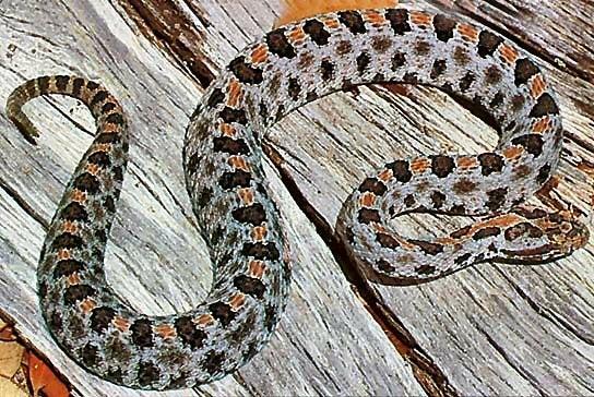 httpswww.outdoorlife.comsitesoutdoorlife.comfilesimport2014importImage2010photo300107.Pygmy_rattler1.jpg