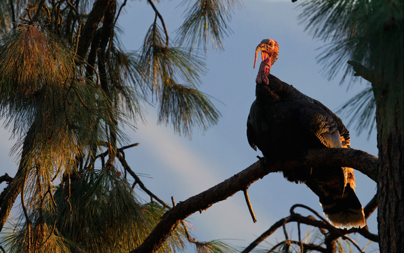 Turkey Hunting: Identify Favorite Roosts Using These 4 Topographic Setups