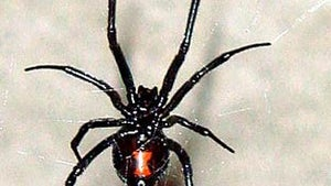 The 10 Most Dangerous Spiders in the World