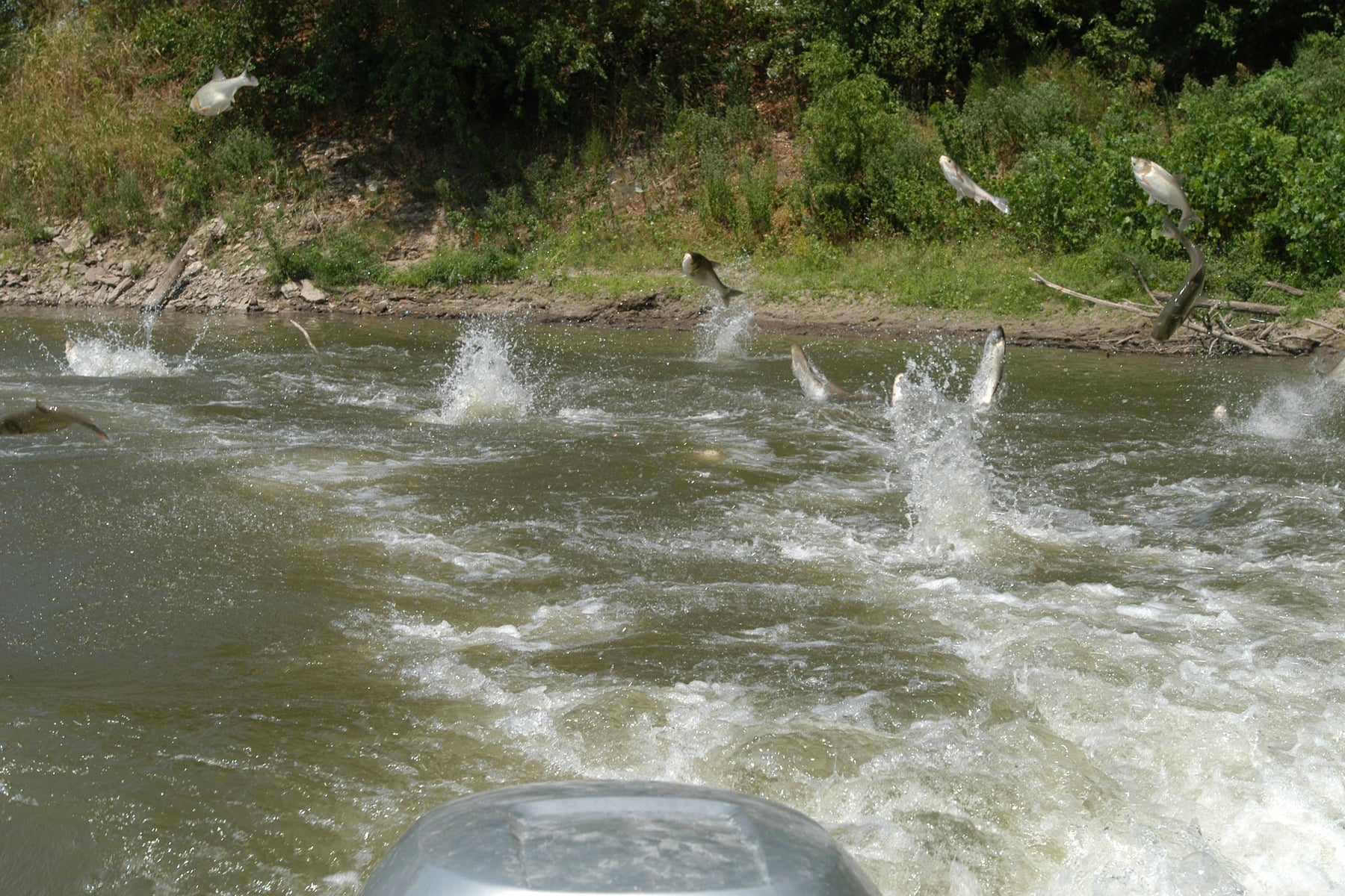 Asian Carp a Looming Disaster For the Great Lakes