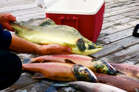Blog Claims that Pink Salmon In British Columbia's Fraser River Are Turning Yellow