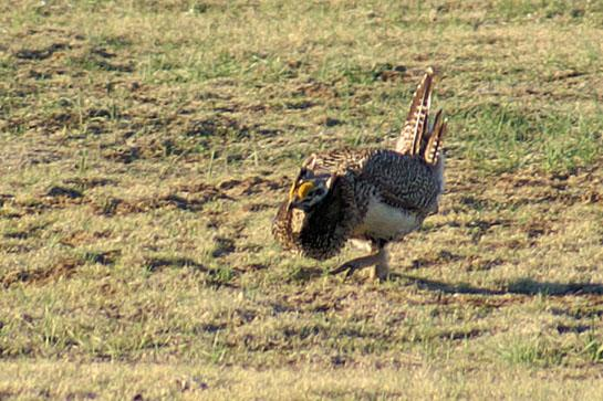 Strange Bird: Rare Sharptail/Sage Grouse Hybrid Found in Wyoming