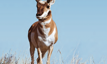 Pronghorn Antelope Hunting Tips and Tactics