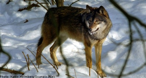 Controversy Over Swedish Wolf Hunt