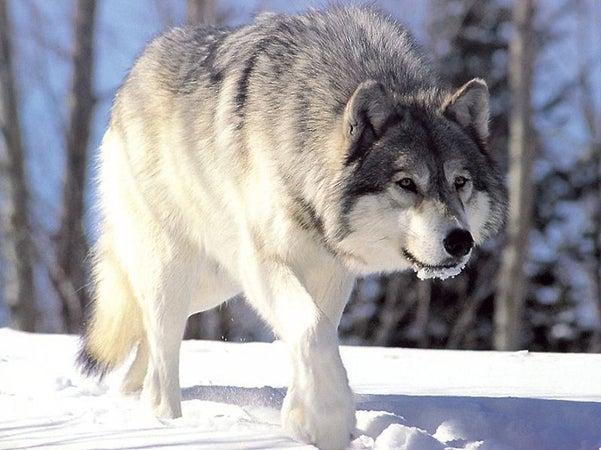 httpswww.outdoorlife.comsitesoutdoorlife.comfilesimport2013images2010086_800px-Canis_lupus_265b_0.jpg