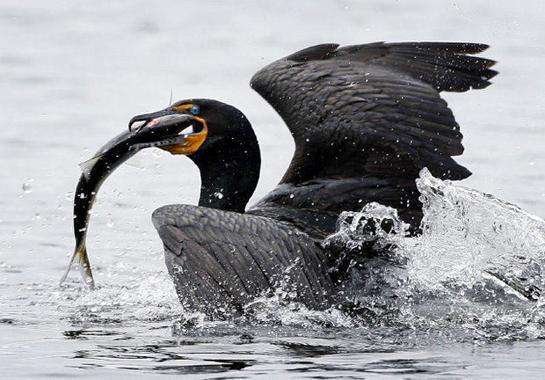 South Carolina's Controversial Cormorant Hunt Culls 11K Birds