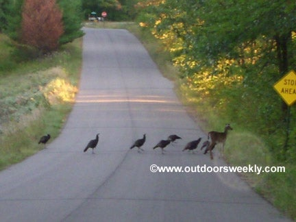 This doe decided to raise a flock of turkeys as her own.