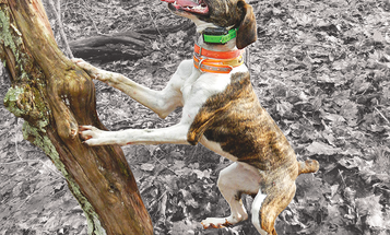 Cur vs. Feist: How Pick Your Next Squirrel Dog