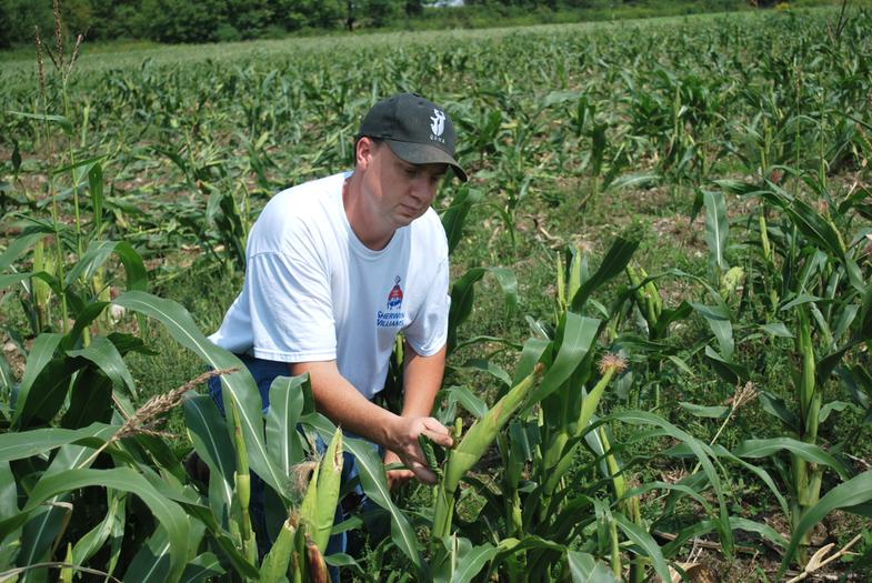 corn plot