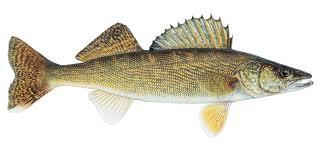Fishing Tips: How to Find Late-Winter Walleyes