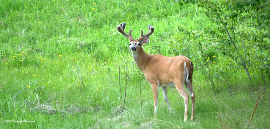 Mid-June Marks the Halfway Point for Whitetail Antler Growth