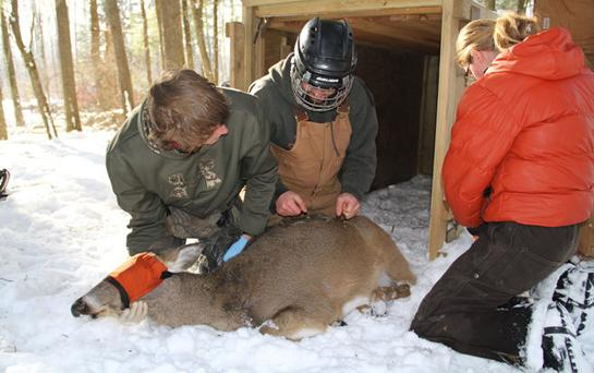 New Wisconsin Study Reveals Data on Deer Mortality