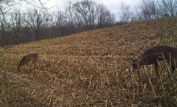 Whitetail Deer: A Gun-Season Sanctuary