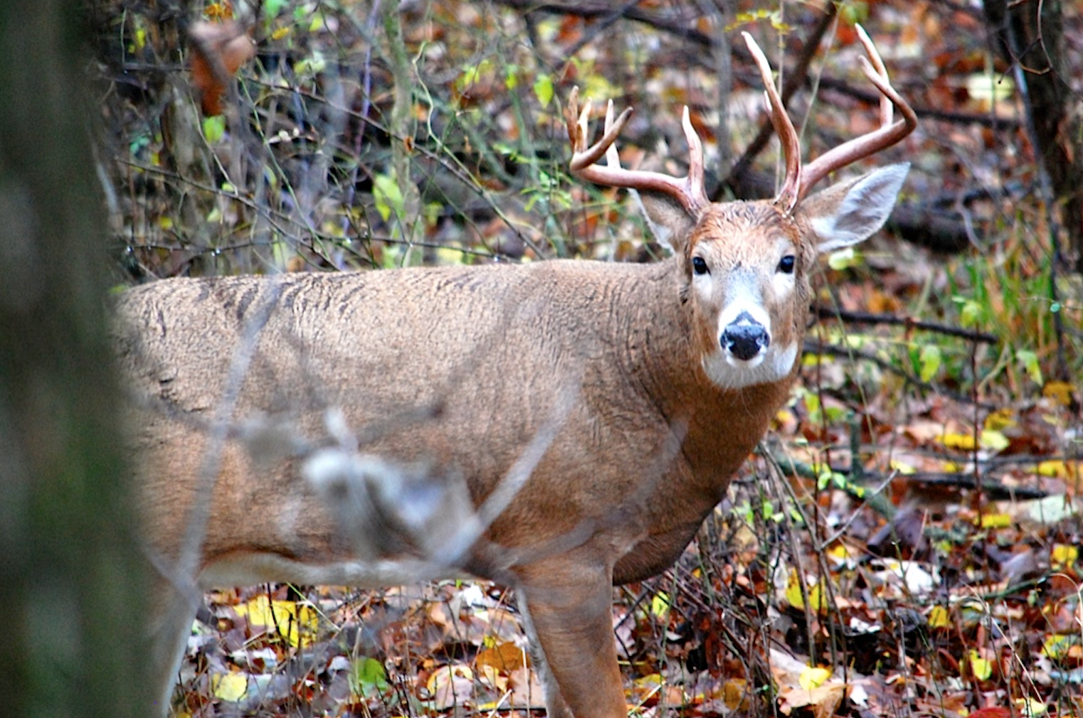 Whitetail Deer, A History: The Rewards of Hunting a Specific Buck