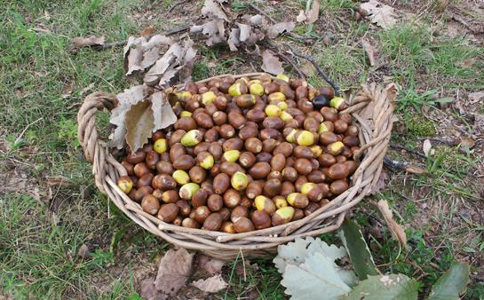 How to Eat Acorns: The Ultimate Survival Food