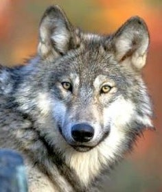 Wisconsin Wolves Killing More Hunting Dogs