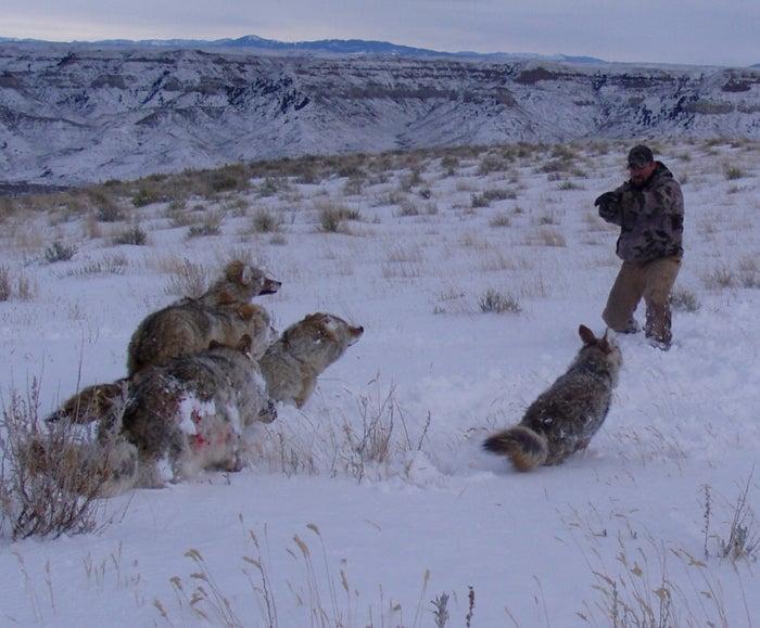 Coyote Showdown