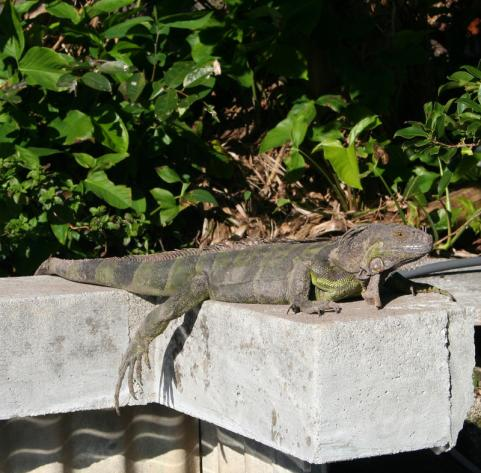 Iguanas Killing Dogs in Florida