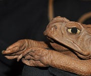 Australians Battle Invasive Toads by Turning Them in to Purses
