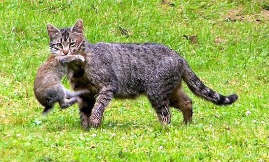 Killer Cats: New Study Shows Cats are Threat to Wildlife