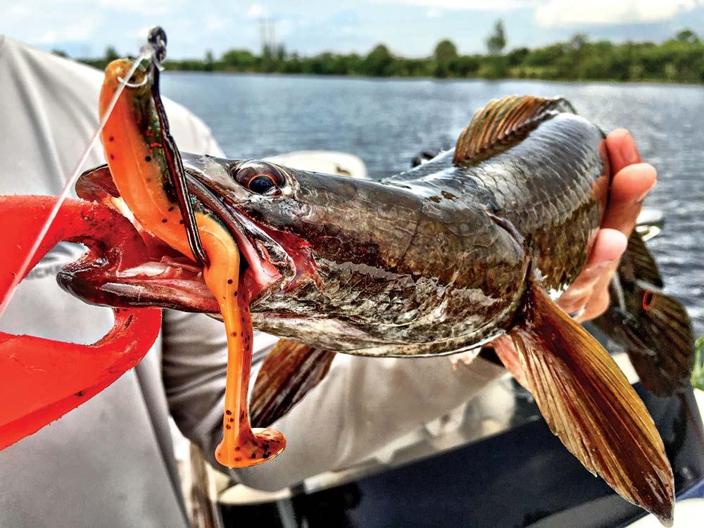 snakehead florida fish