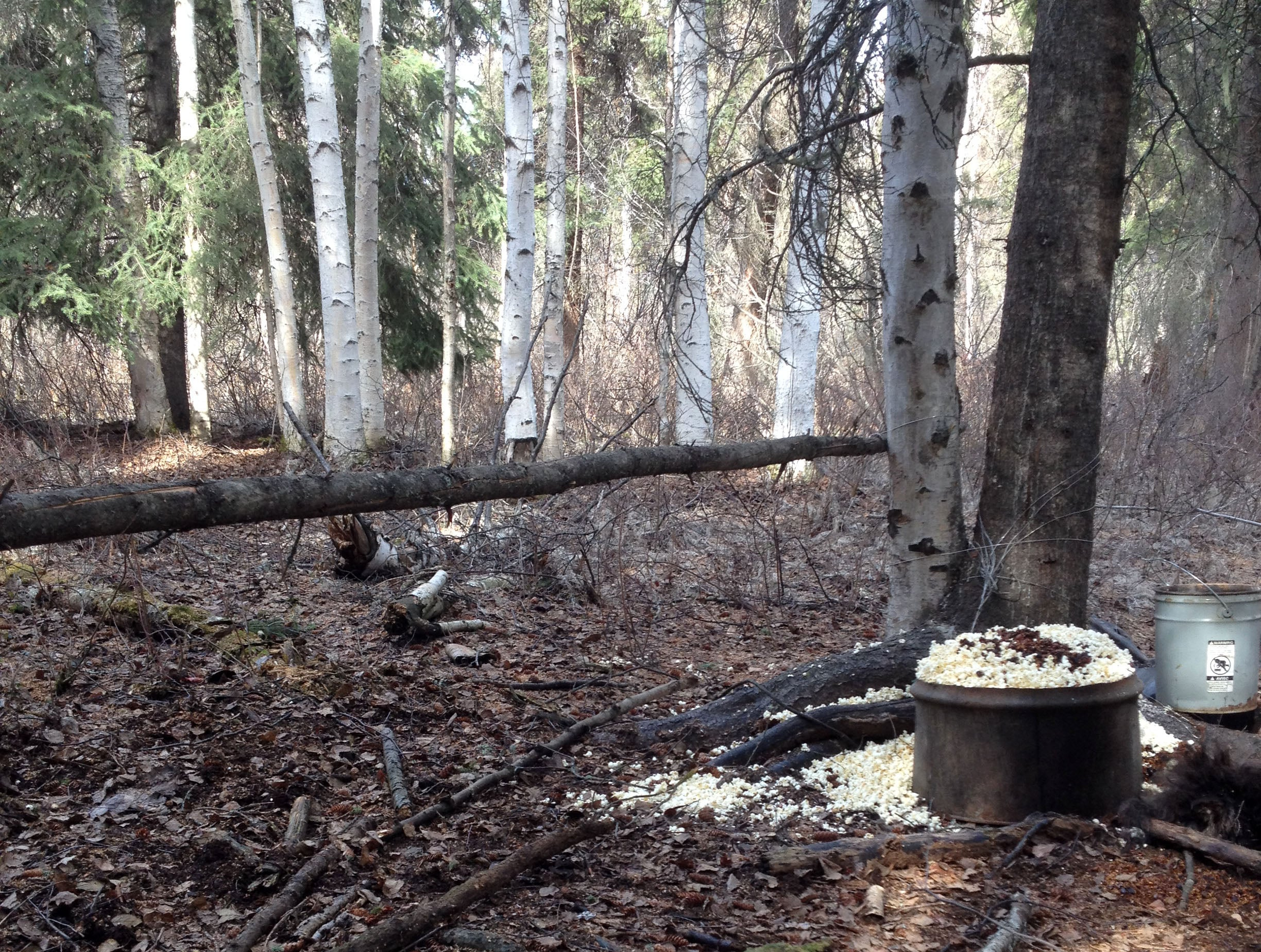 Black Bear Hunting: Forget the Barrel, Use a Limbo Pole to Size Up Bruins