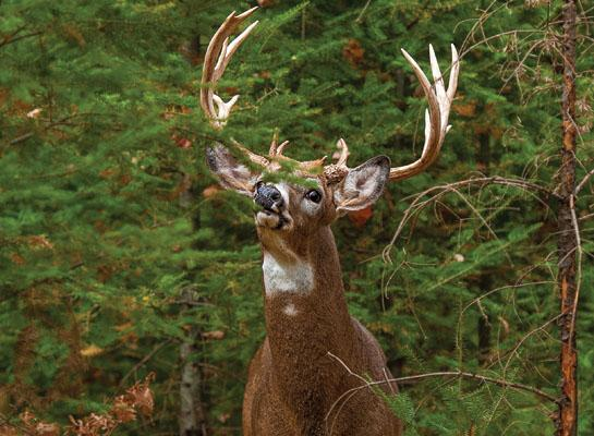 The Truth About Hunting Whitetails in Wind