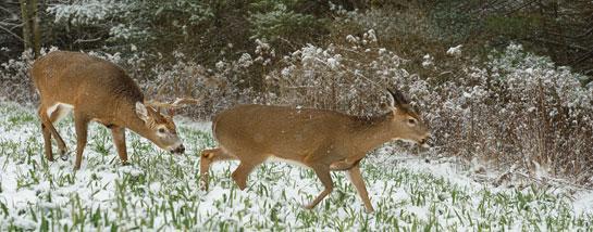 buck chasing doe
