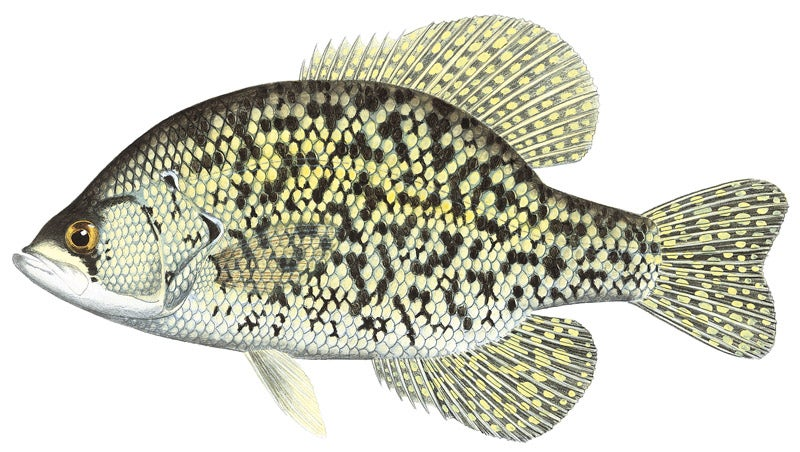 httpswww.outdoorlife.comsitesoutdoorlife.comfilesimport2014importImage2010photo3001073A_Black_Crappie.jpg