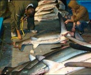 357 Dead Sharks Found on Illegal Ecuadorian Fishing Boat in Galapagos