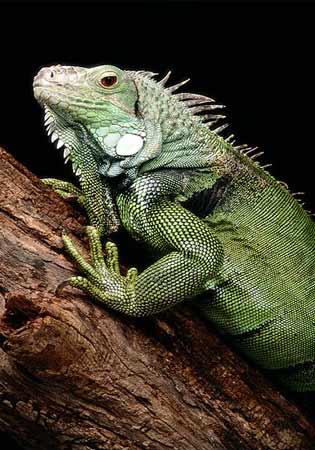 Iguana Hunting