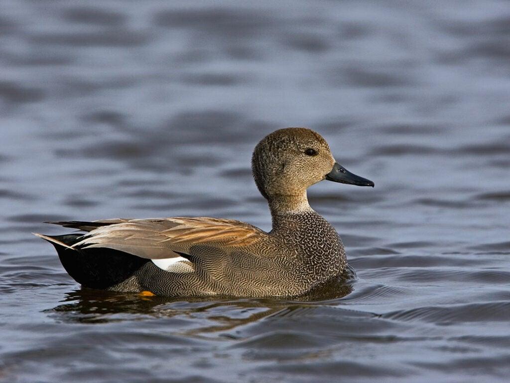 gadwall duck, duck species, types of ducks, grey duck
