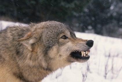 Killer Wolves Were Healthy