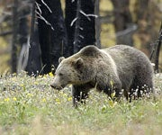 Idaho Politicians Propose Grizzly Self Defense Law that Already Exists