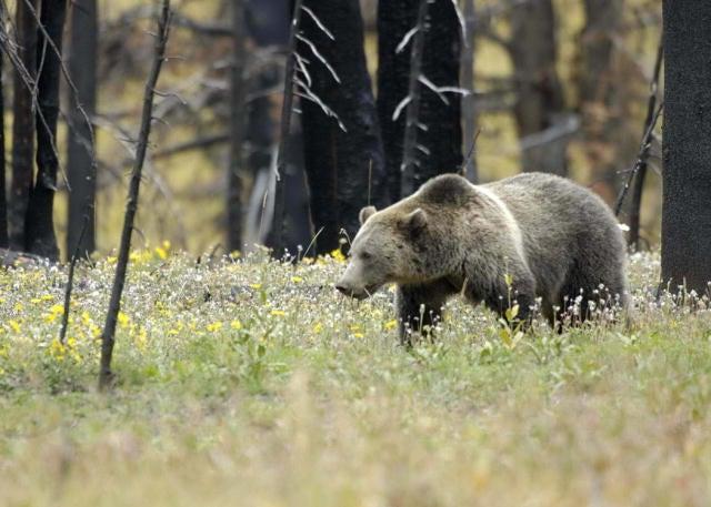 Endangered Grizzlies