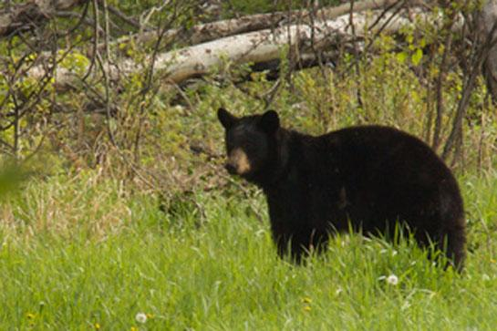 California Ban on Hunting Bears with Hounds Leads to Record Low Harvest