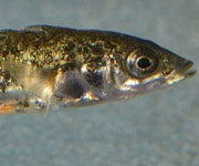 Study: Global Climate Change Could Benefit Parasites, Harm Fish