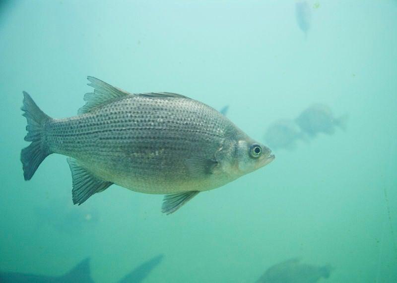 httpswww.outdoorlife.comsitesoutdoorlife.comfilesimport2014importImage2009photo3bestwhitebassfishing.jpg