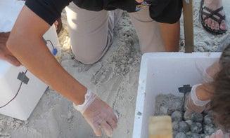 Gulf Coast Turtle Egg Rescue